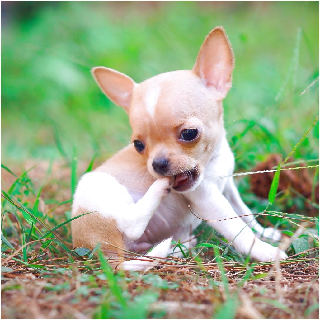 teacup chihuahua for sale in jackson tn