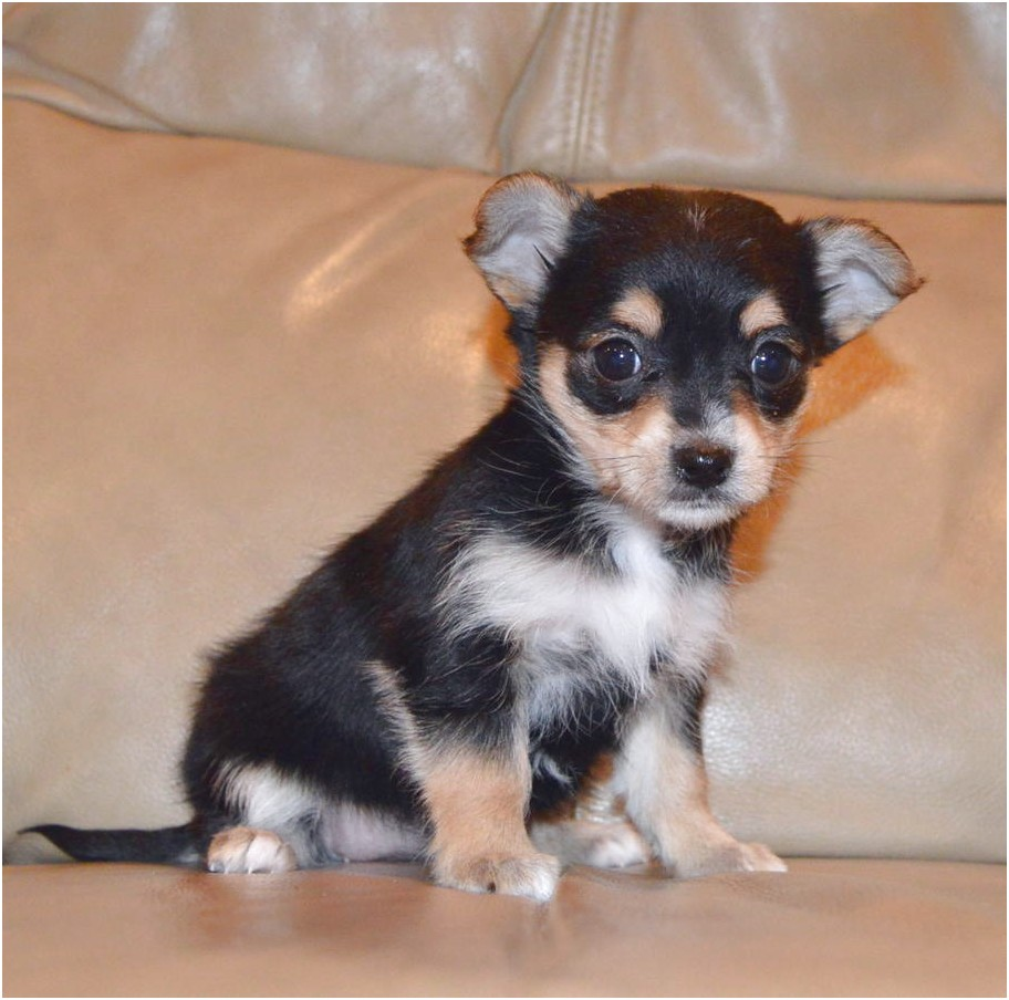 teacup chihuahua for sale in kingsport tn