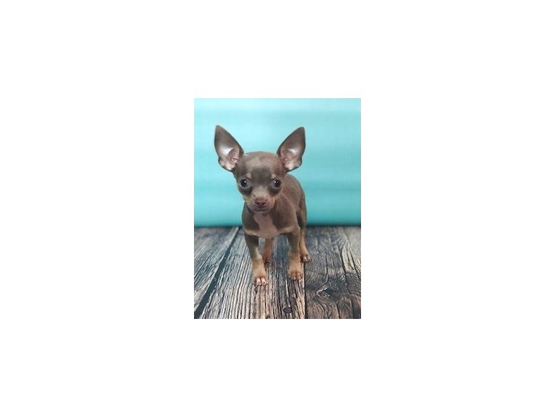 teacup chihuahua for sale in knoxville tennessee