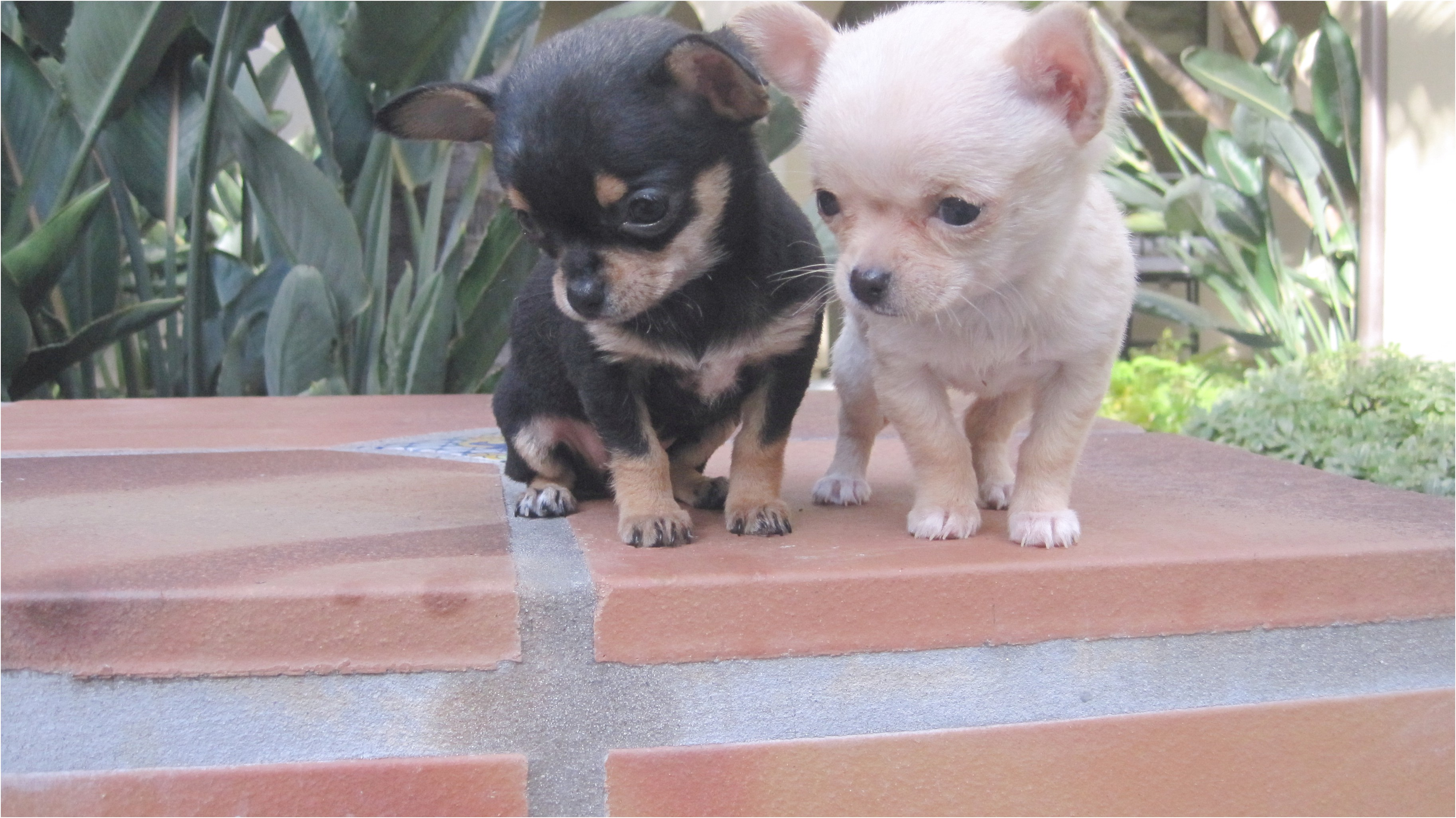 teacup chihuahua for sale in memphis tn