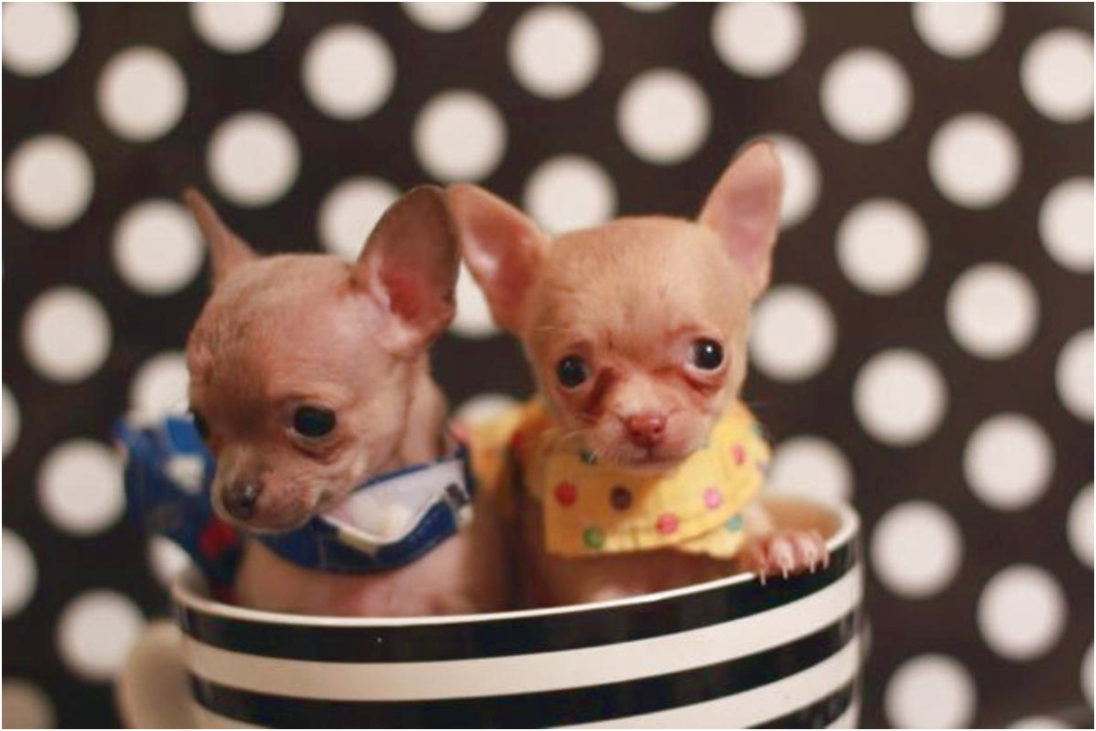 teacup chihuahua for sale in nashville tennessee
