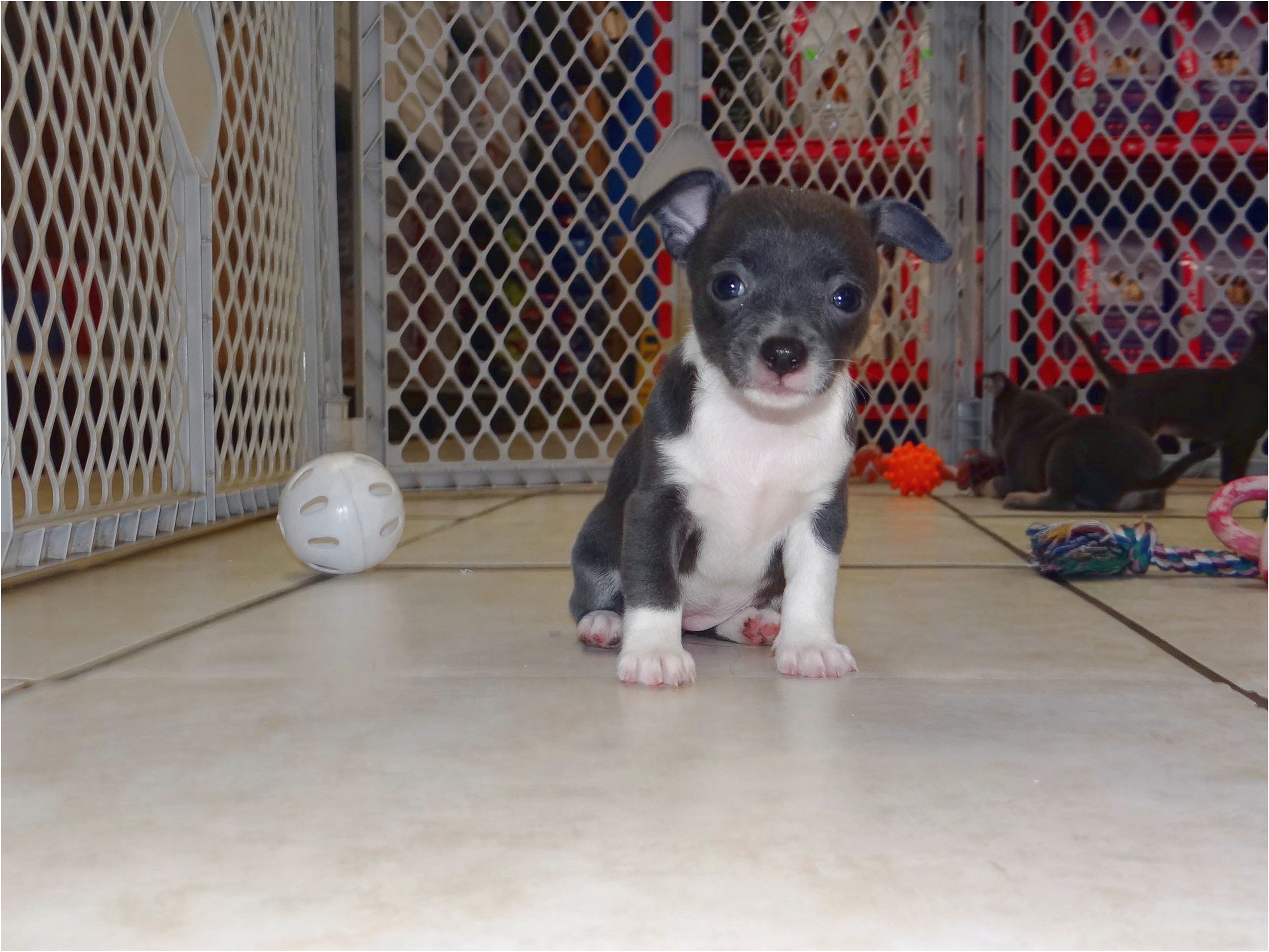 teacup chihuahua for sale in richmond va