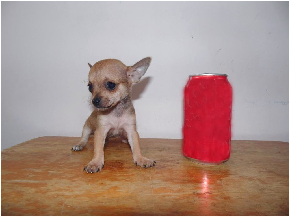 teacup chihuahua for sale in va