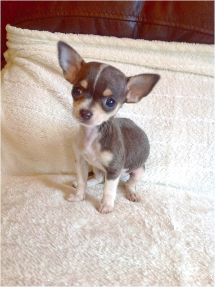 teacup chihuahua for sale in west tn