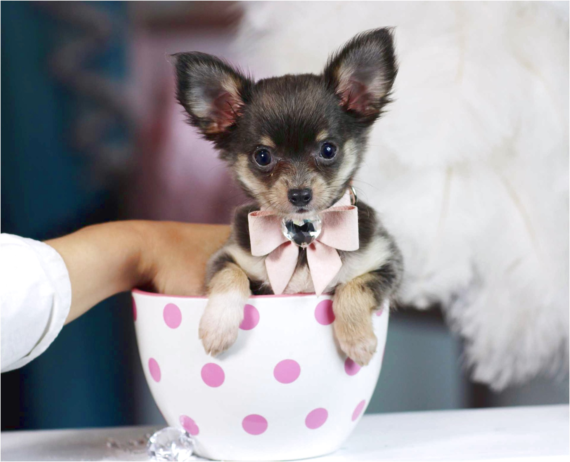 teacup chihuahua for sale knoxville tn