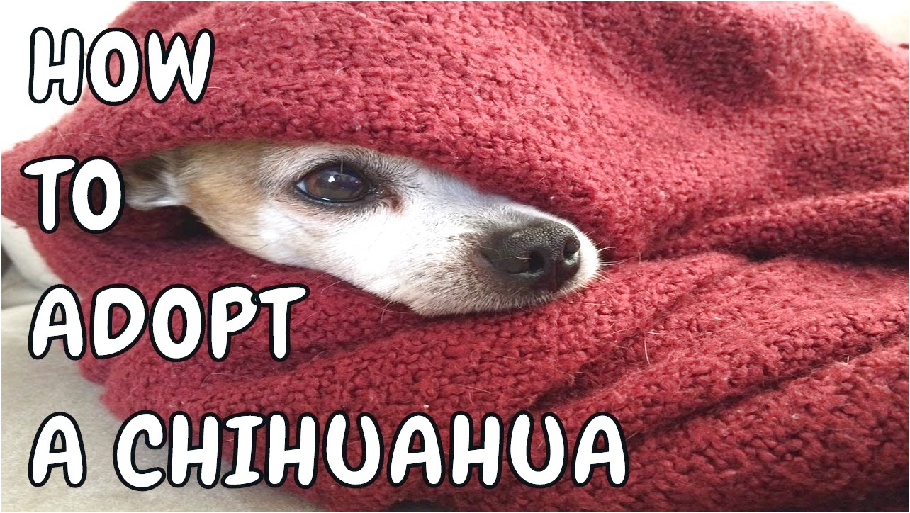teacup chihuahua puppies for free adoption