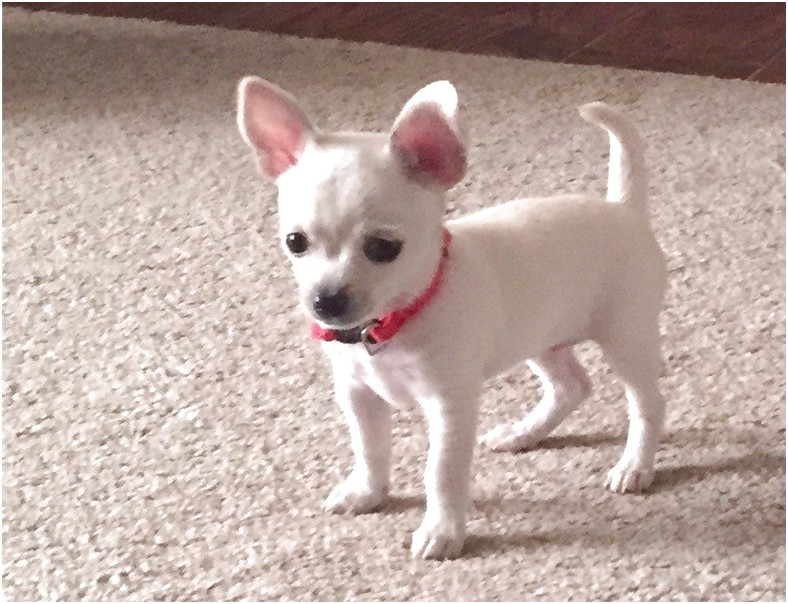 teacup chihuahua puppies for sale in atlanta ga