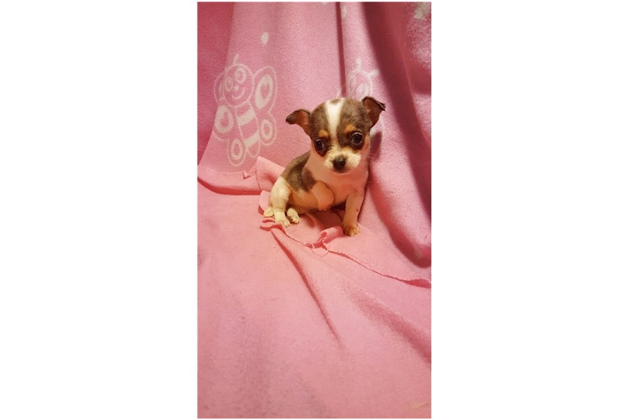 teacup chihuahua puppies for sale in cincinnati ohio