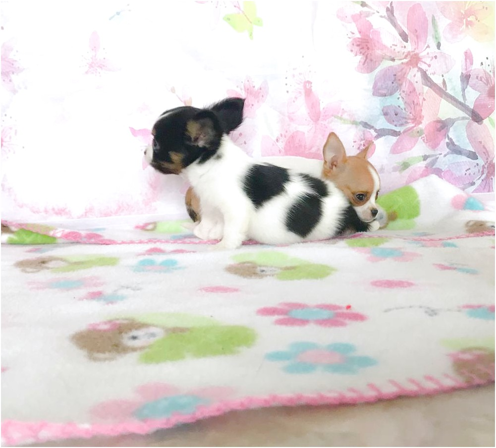 teacup chihuahua puppies for sale in cleveland ohio