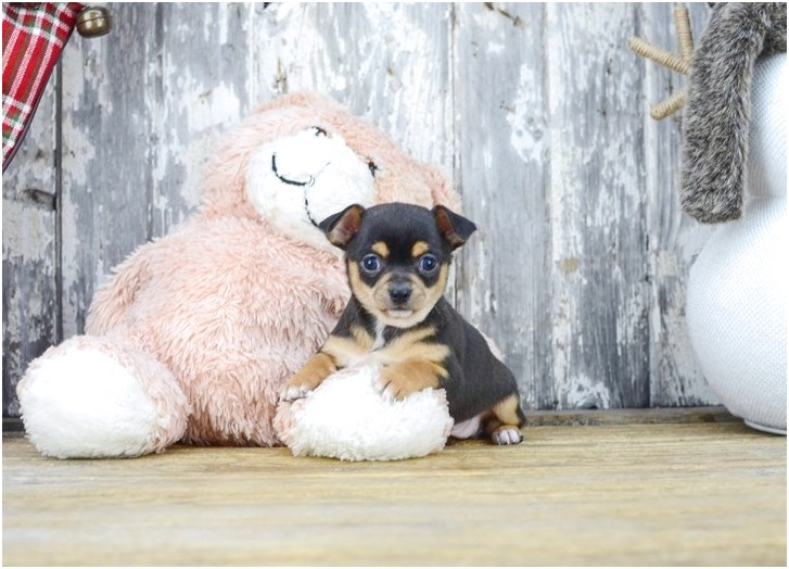 teacup chihuahua puppies for sale in columbus ohio