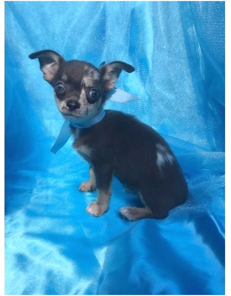teacup chihuahua puppies for sale in greensboro nc