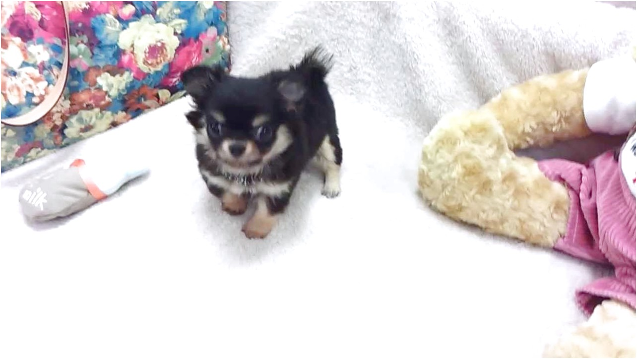 teacup chihuahua puppies for sale near me