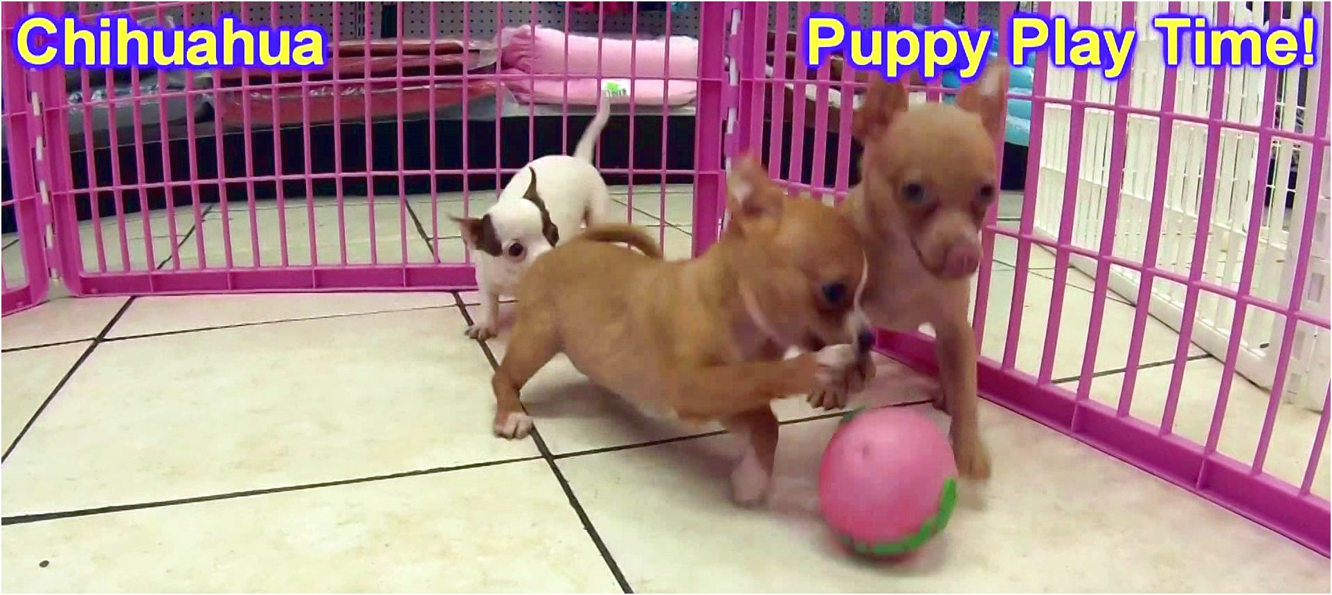 teacup chihuahua rescue ct