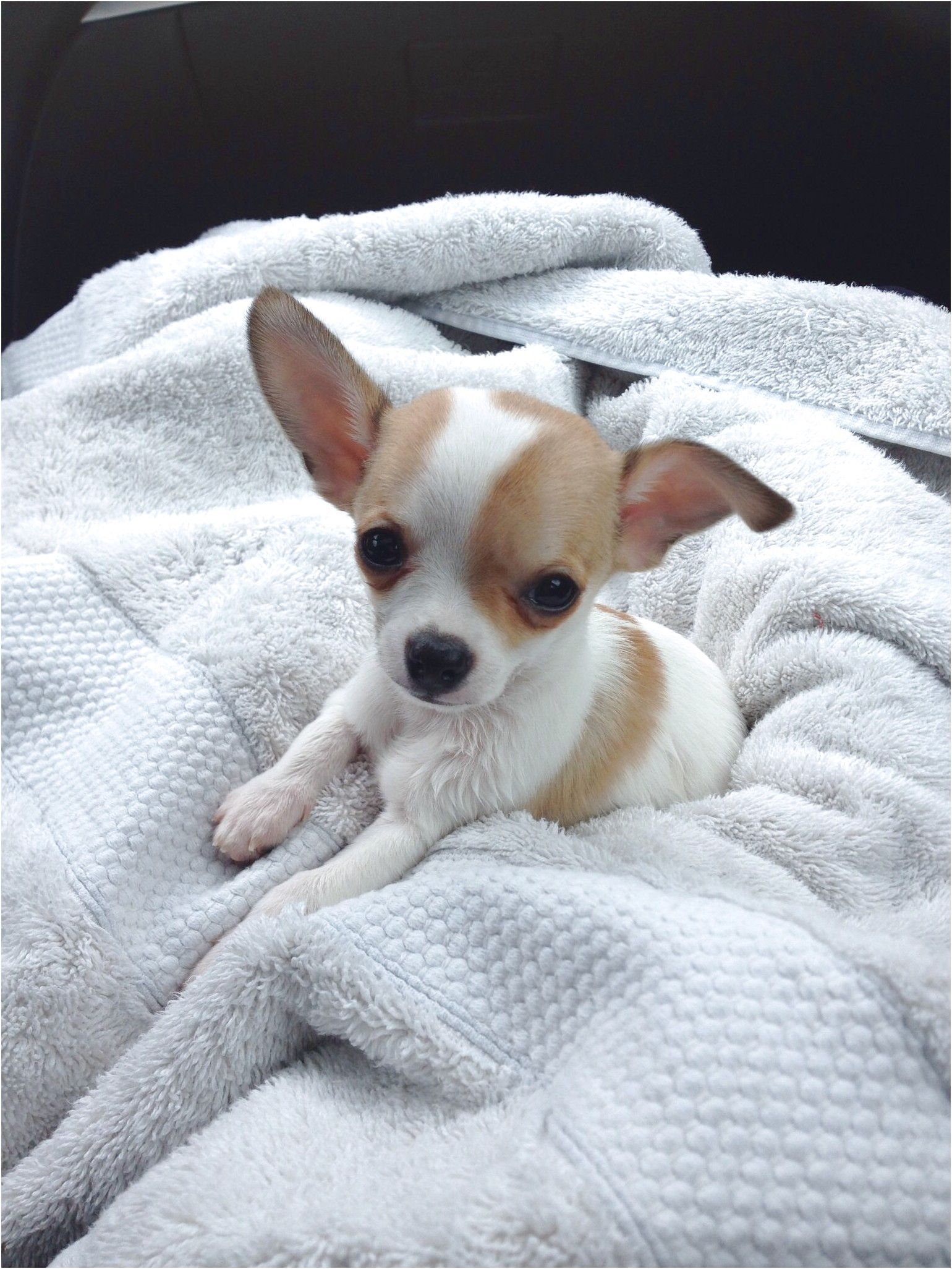 teacup chihuahua rescue mn