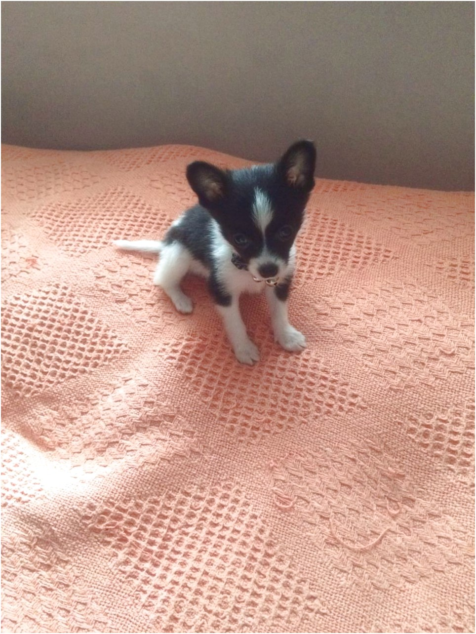 teacup chihuahua up for adoption