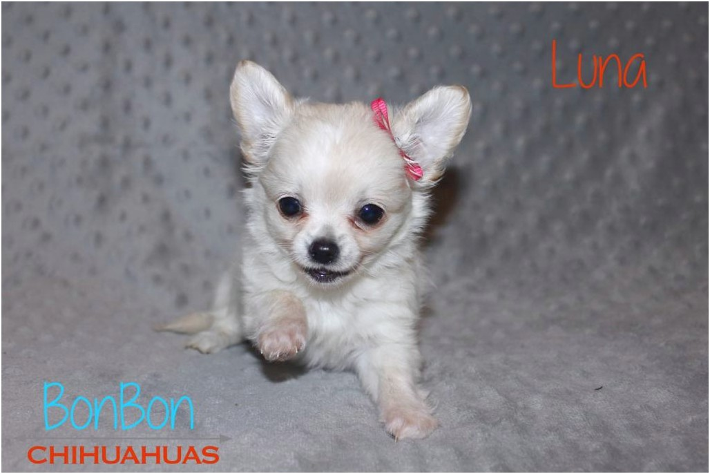 teacup chihuahuas for adoption in nc