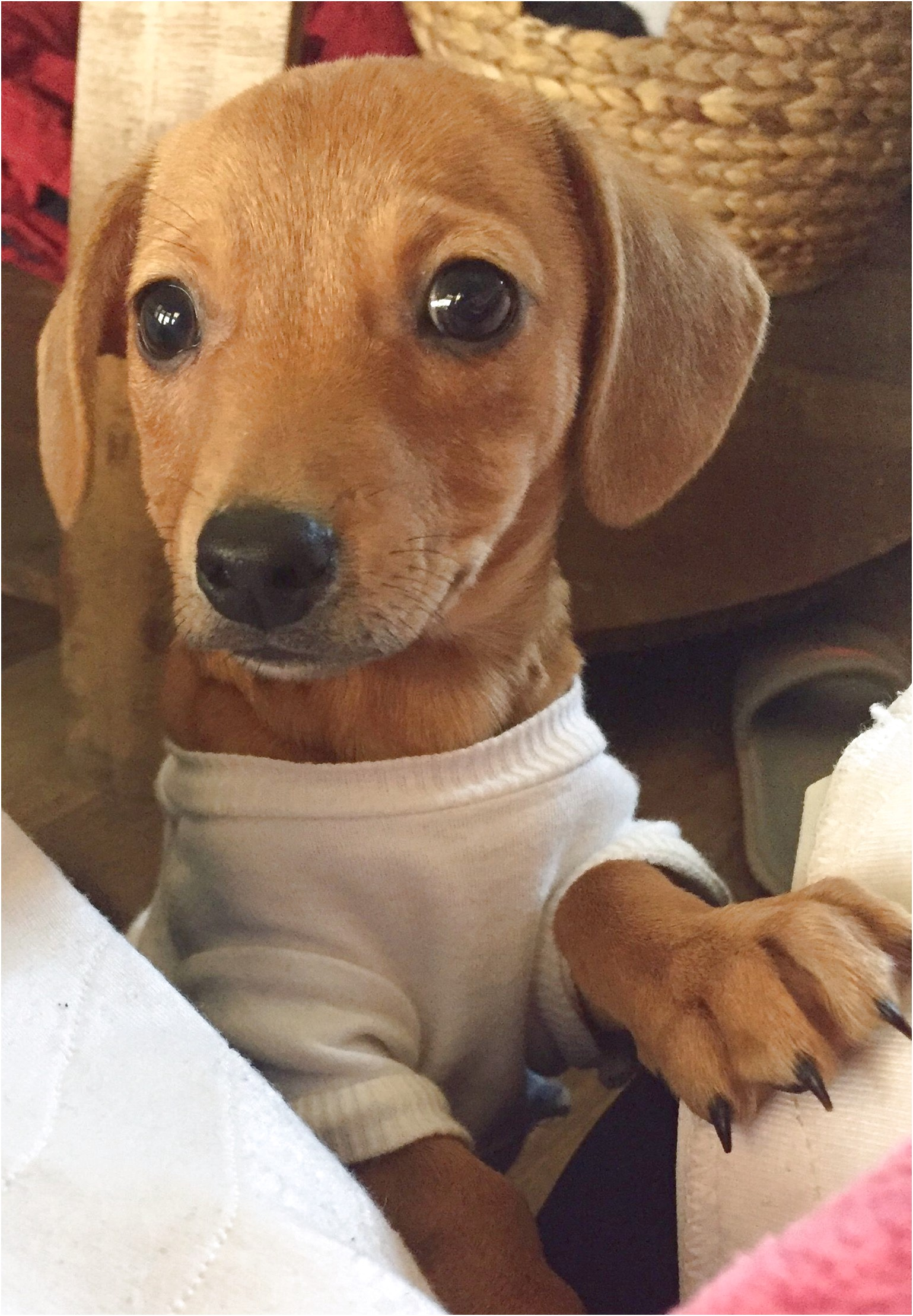 teacup dachshund puppies for sale in houston texas