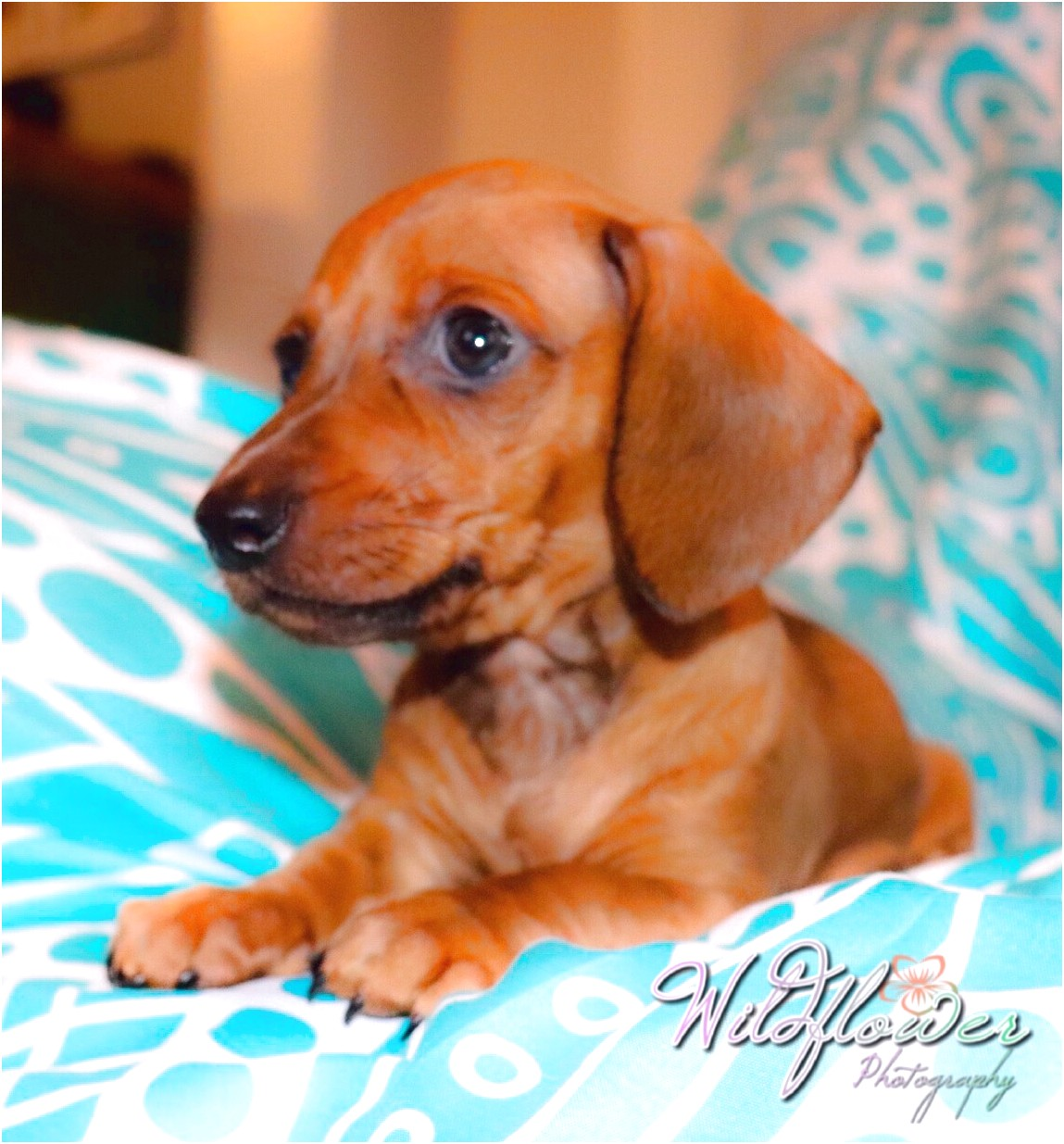 teacup dachshund puppies for sale in nc