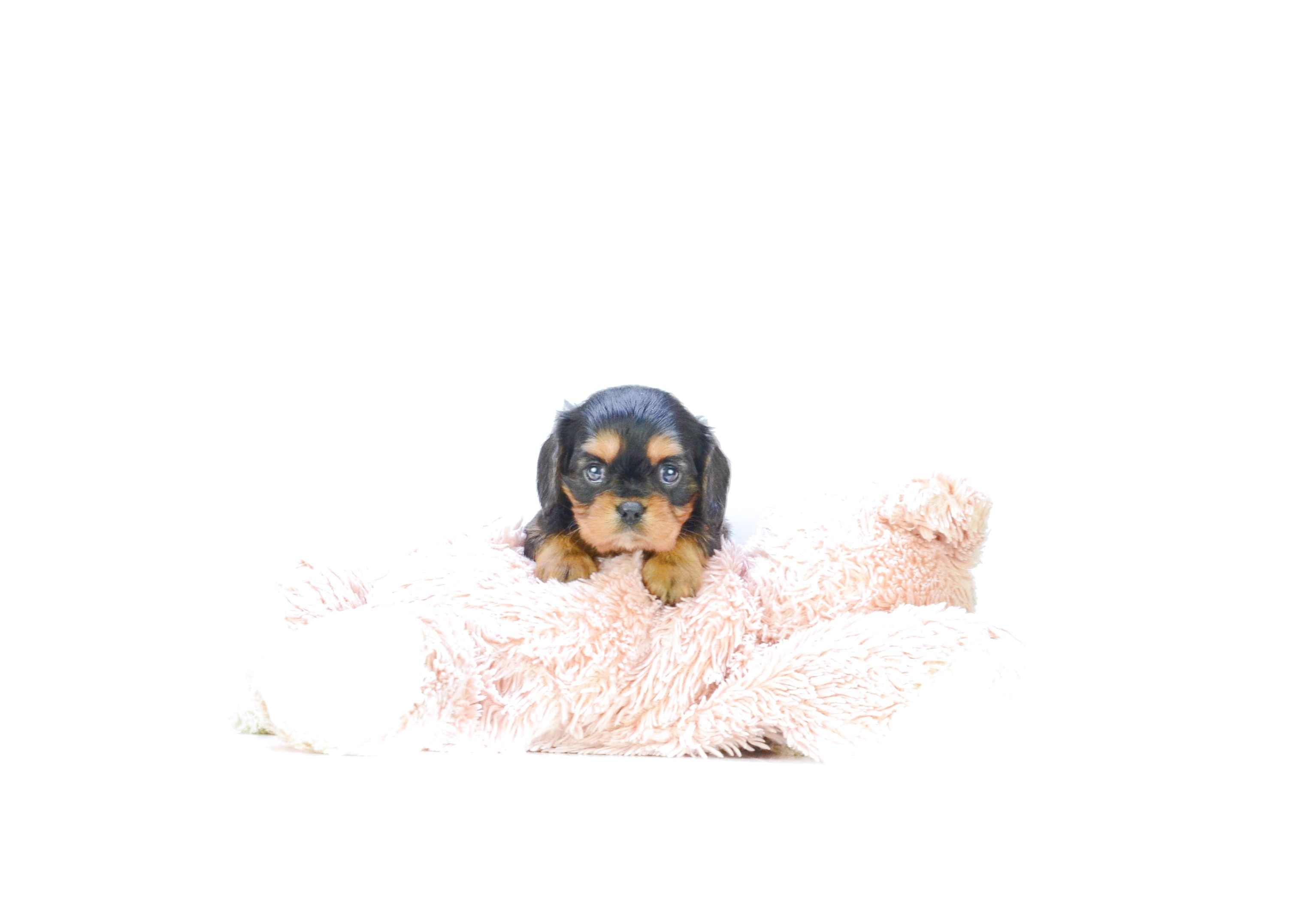 teacup dachshund puppies for sale in ohio