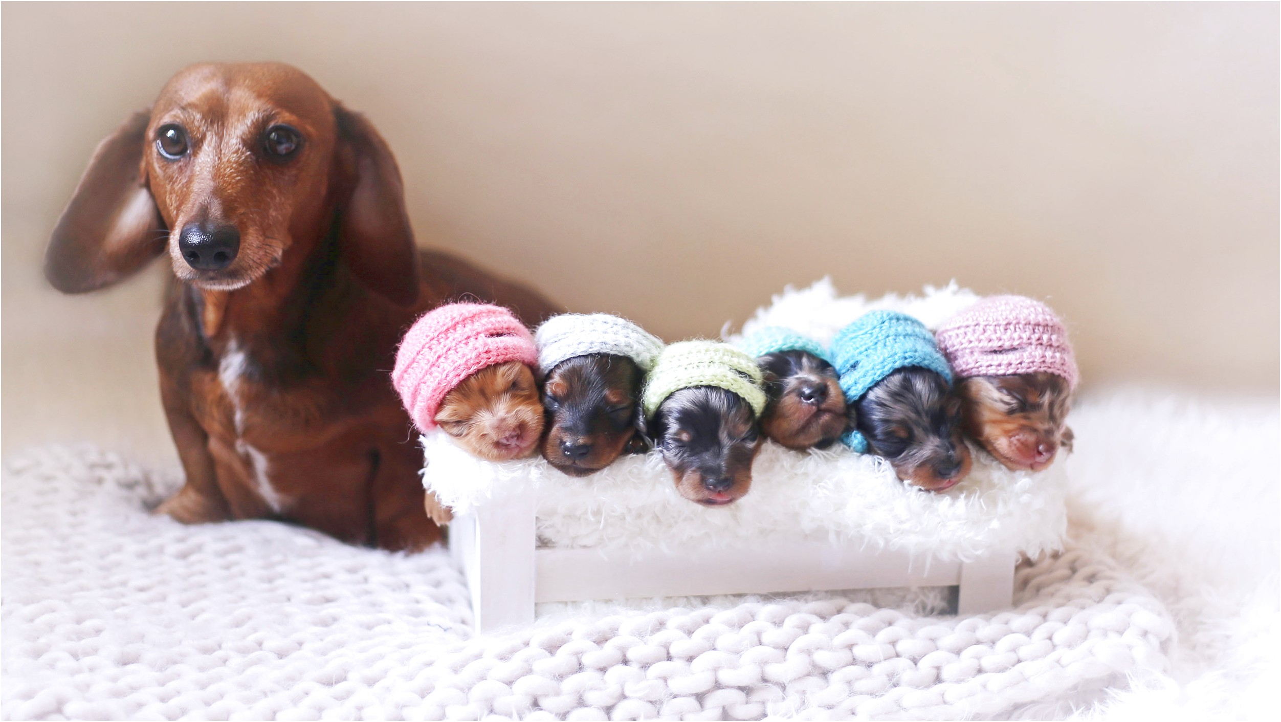 teacup dachshund puppies for sale in texas