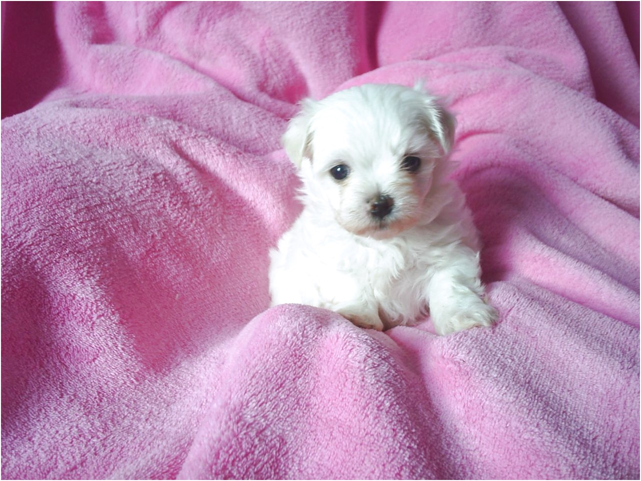 teacup maltese puppies for sale under 1000