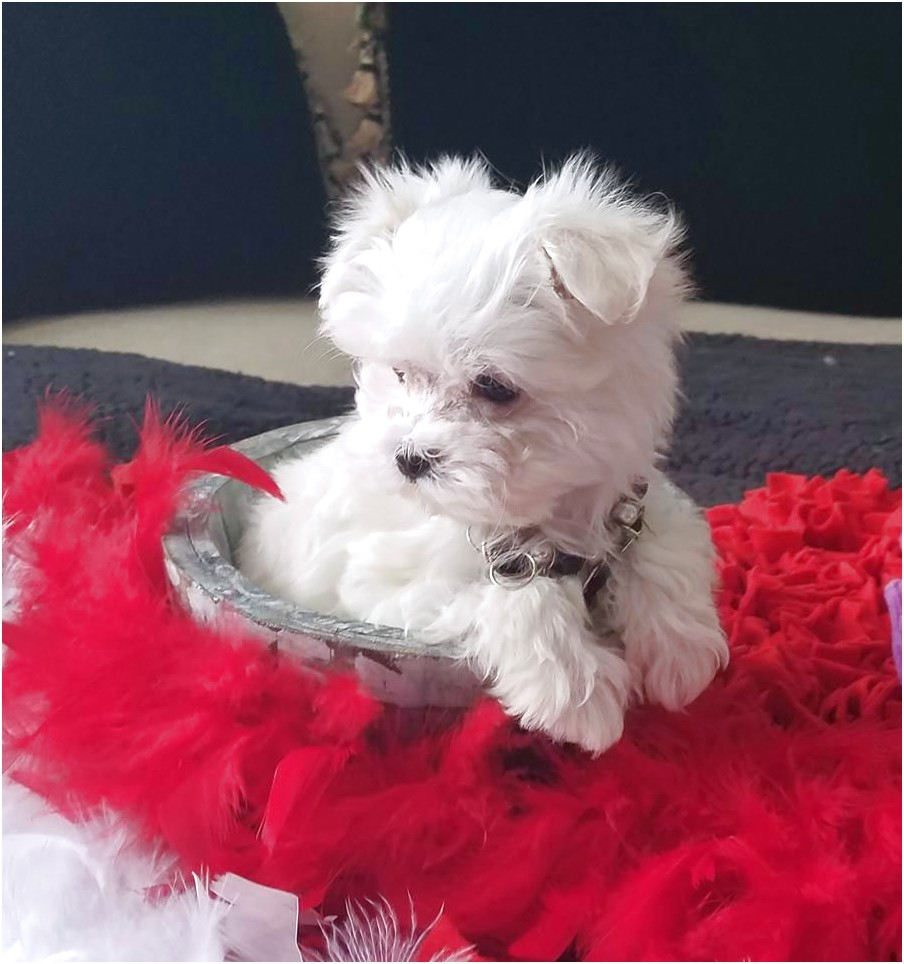 teacup maltese puppies for sale under 500