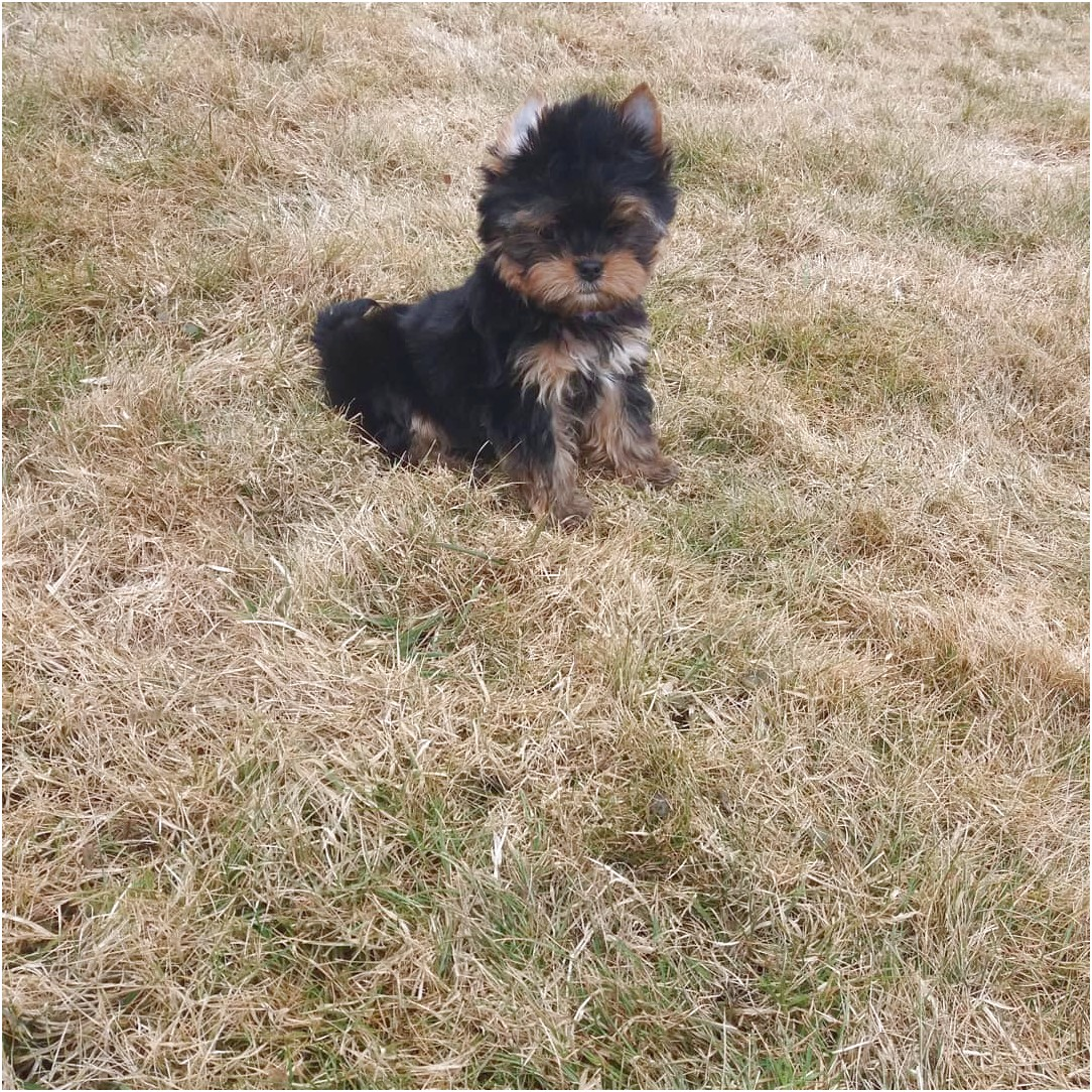 teacup yorkie puppies for sale baton rouge