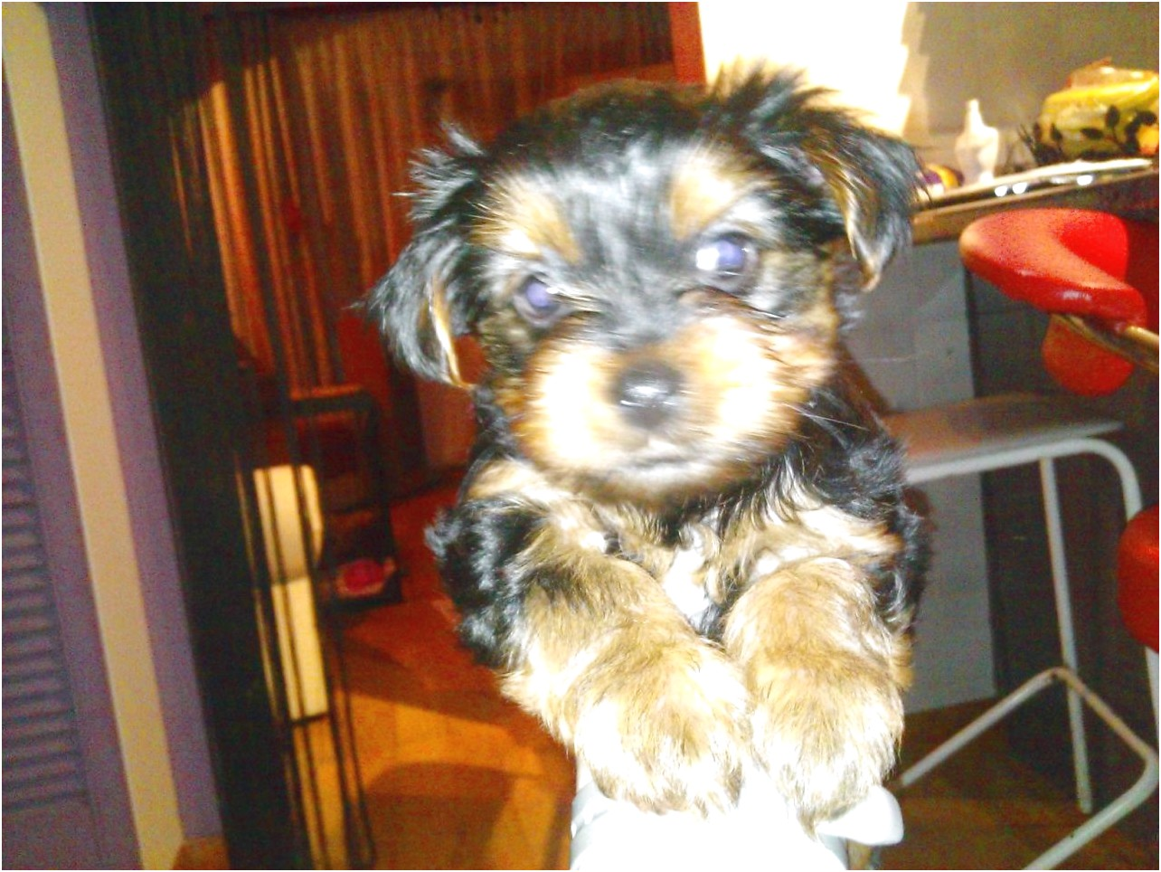teacup yorkie puppies for sale bay area