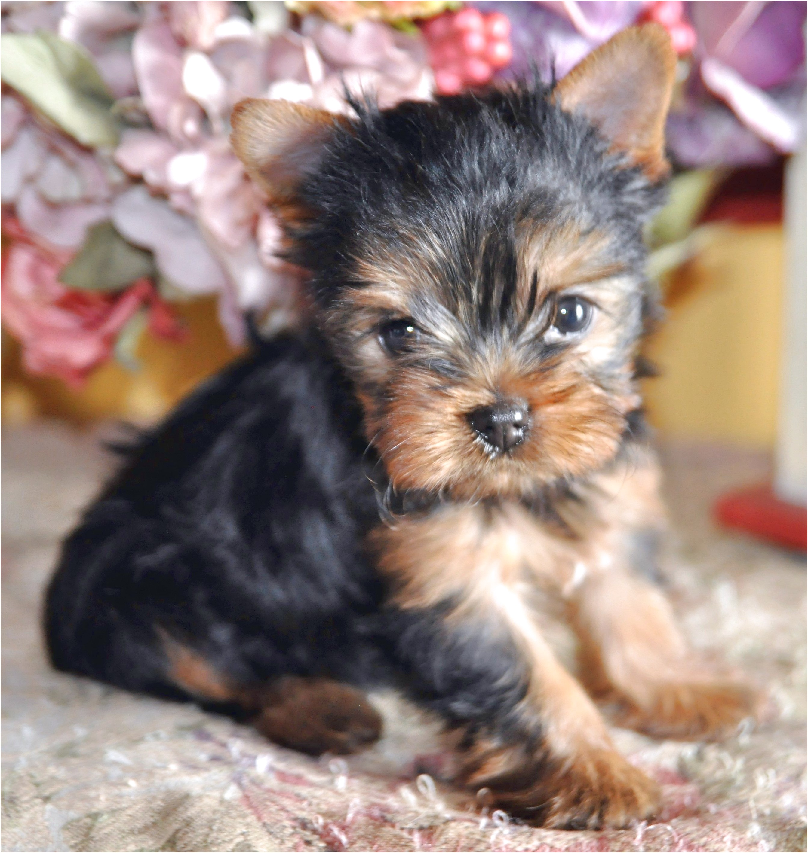 teacup yorkie puppies for sale bc