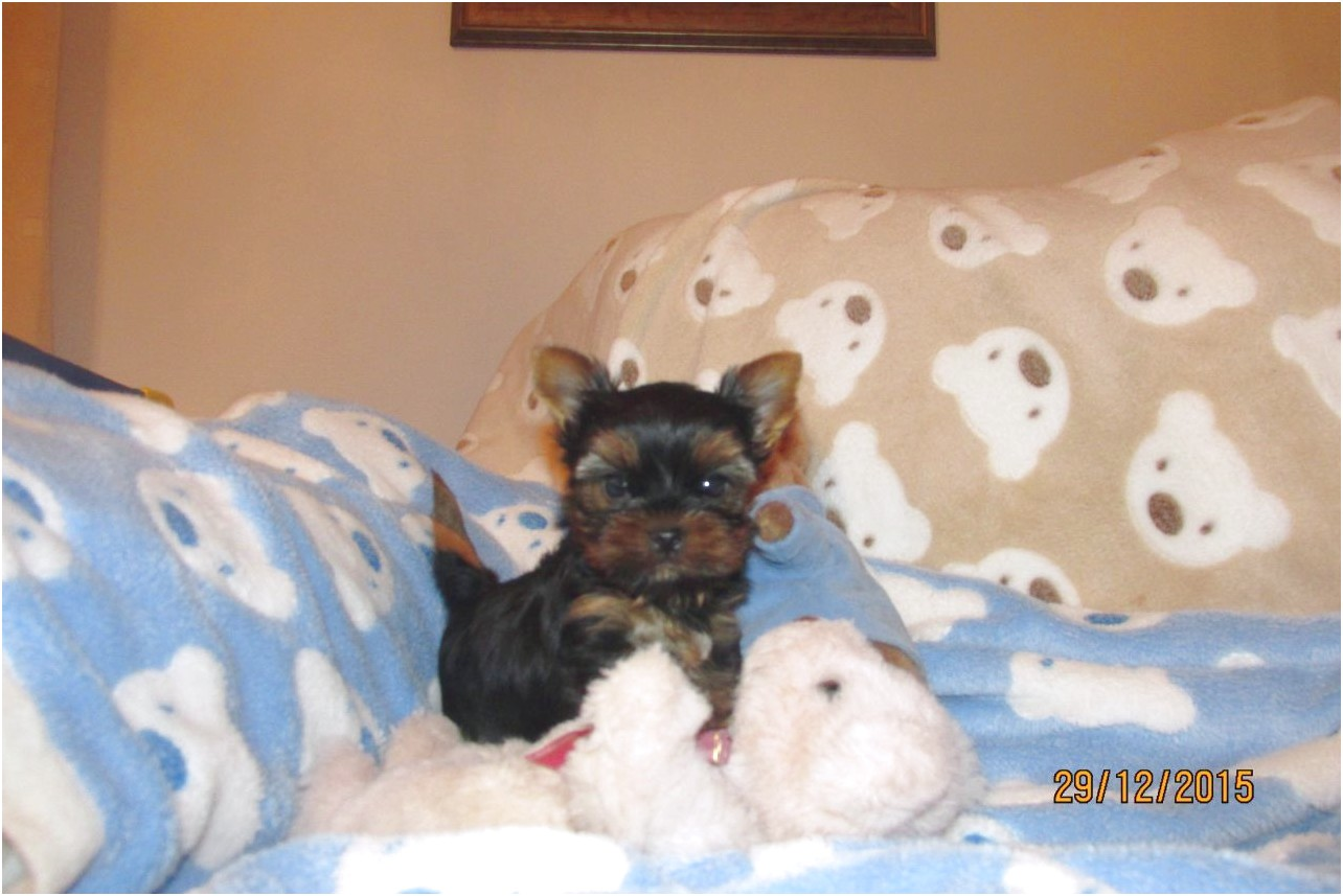 teacup yorkie puppies for sale california