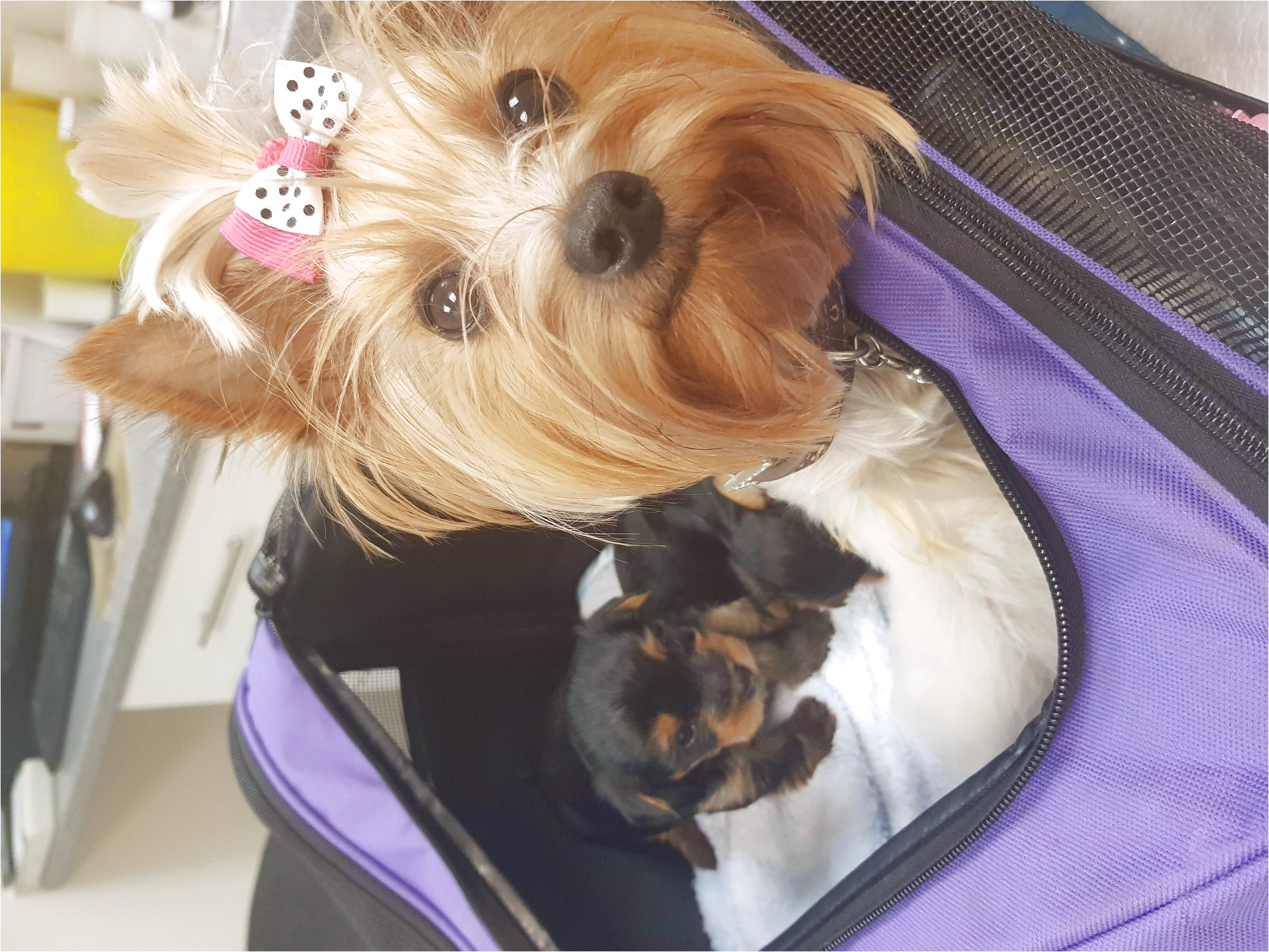 teacup yorkie puppies for sale edinburgh