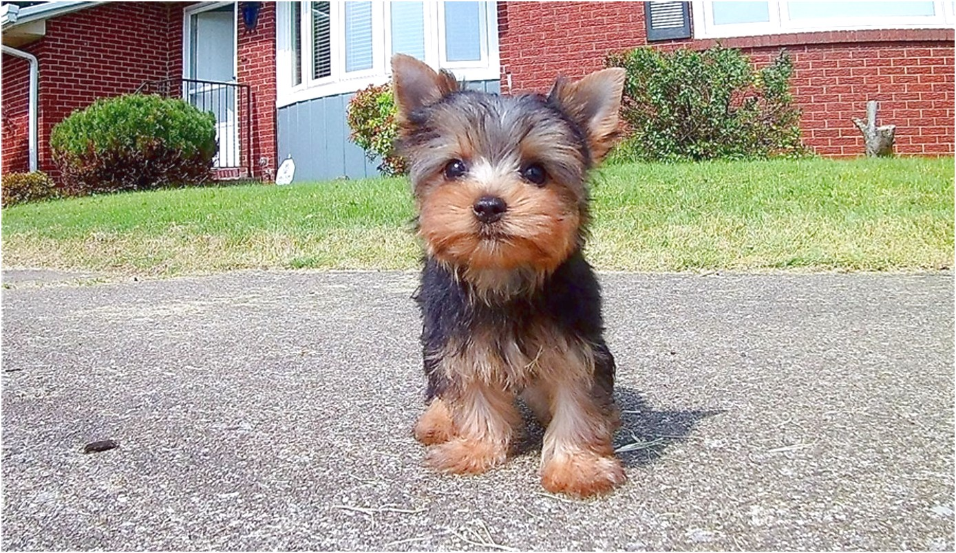 teacup yorkie puppies for sale for cheap