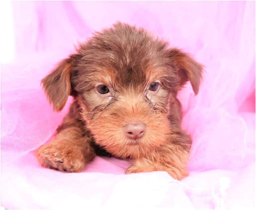 teacup yorkie puppies for sale fresno ca