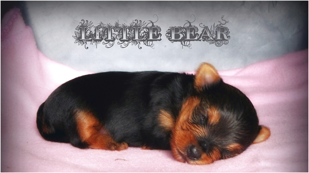 teacup yorkie puppies for sale greenville sc