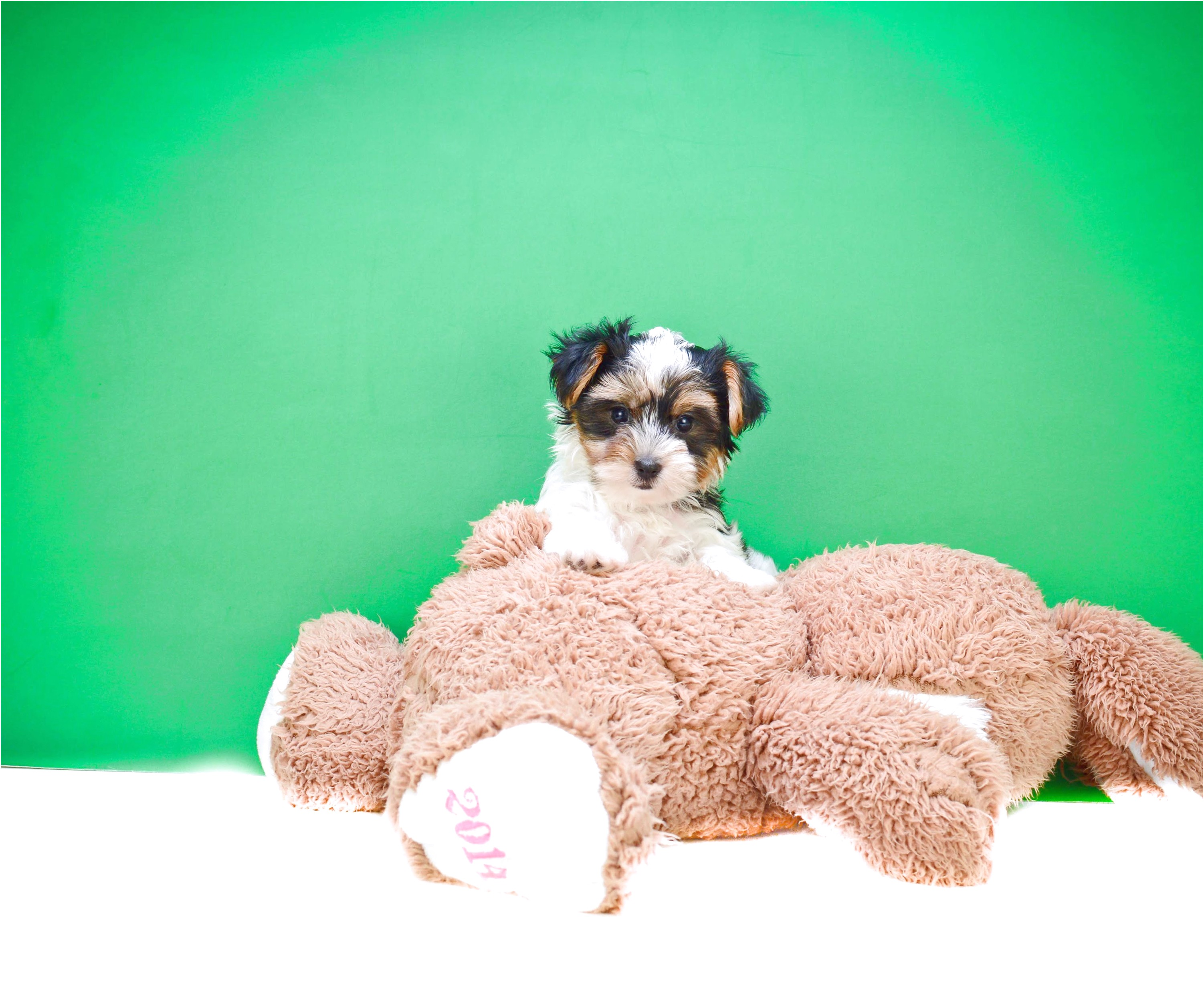 teacup yorkie puppies for sale hoobly