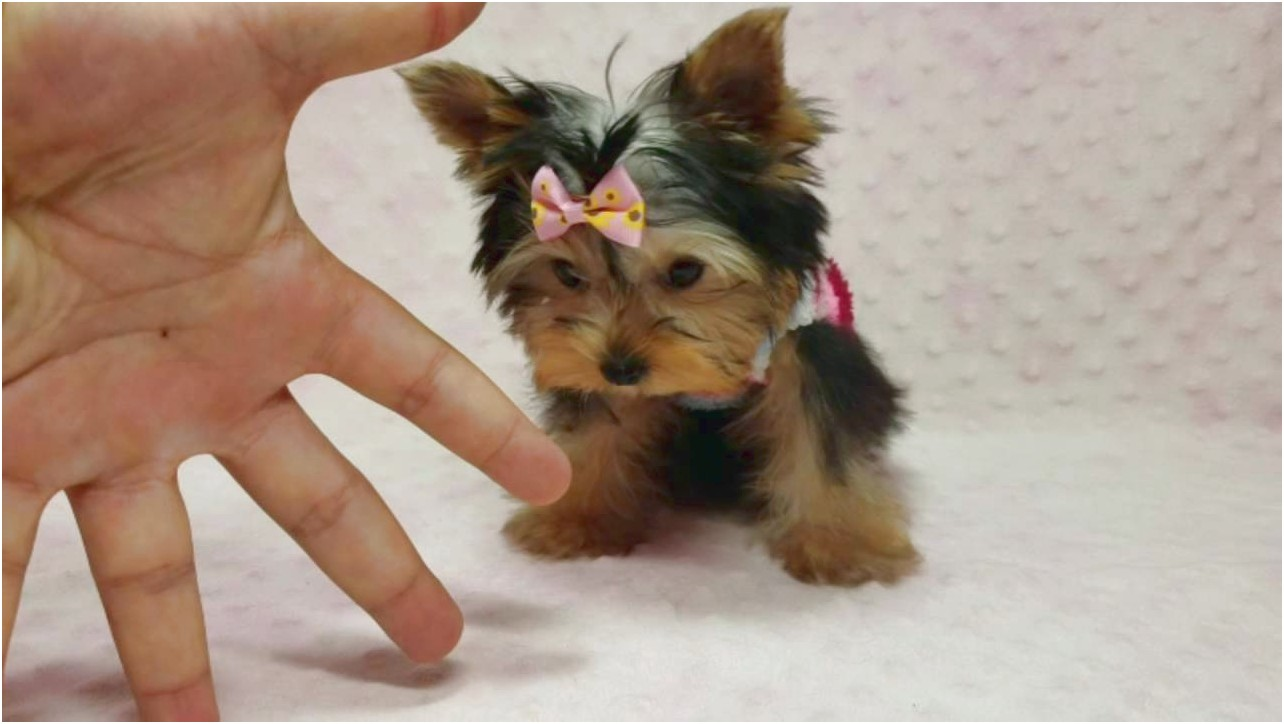 teacup yorkie puppies for sale in fort worth texas