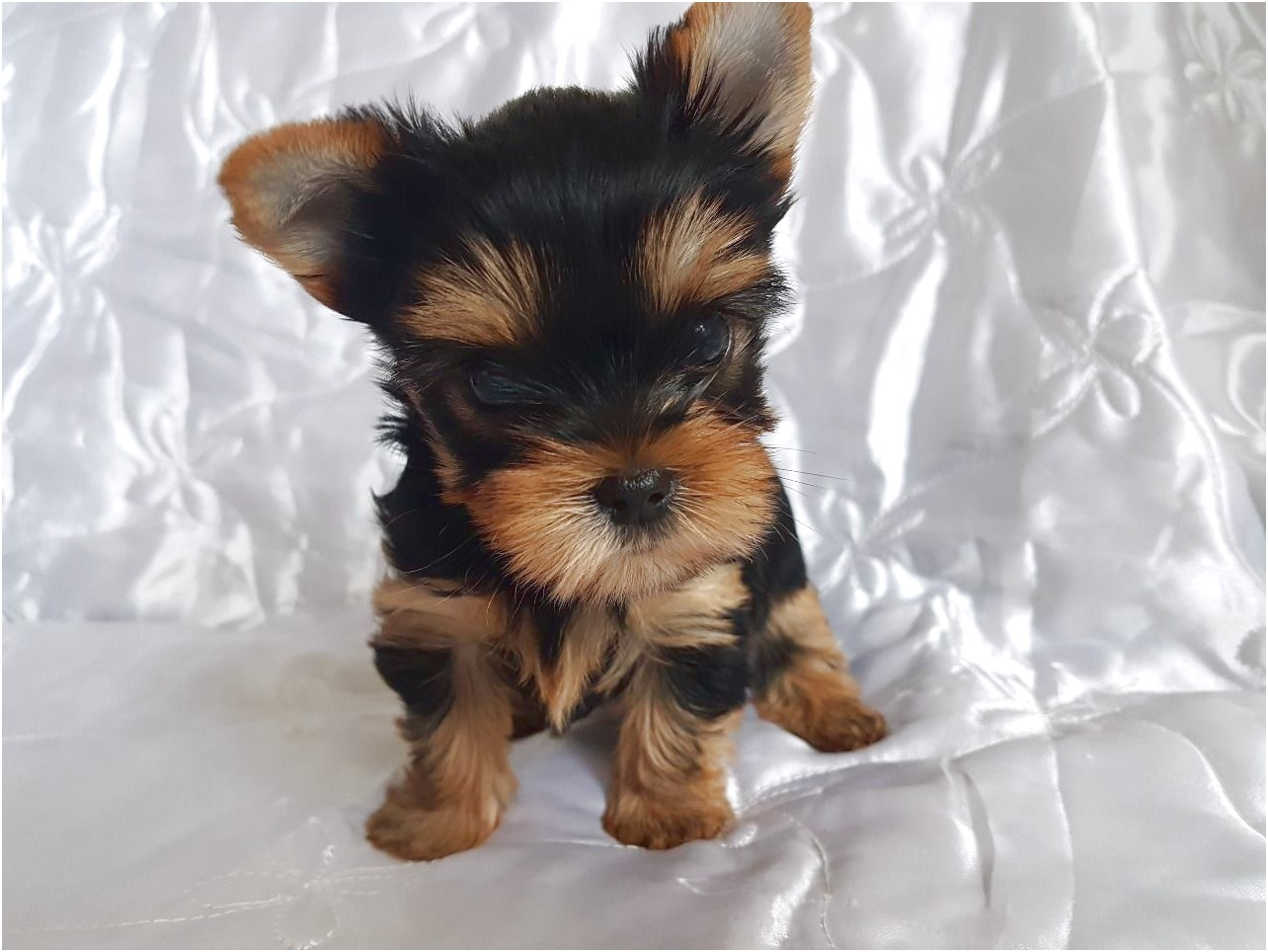 teacup yorkie puppies for sale in jackson ms