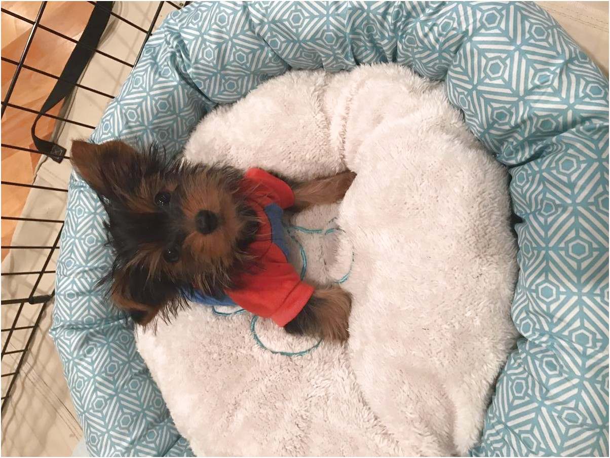 teacup yorkie puppies for sale in jacksonville florida