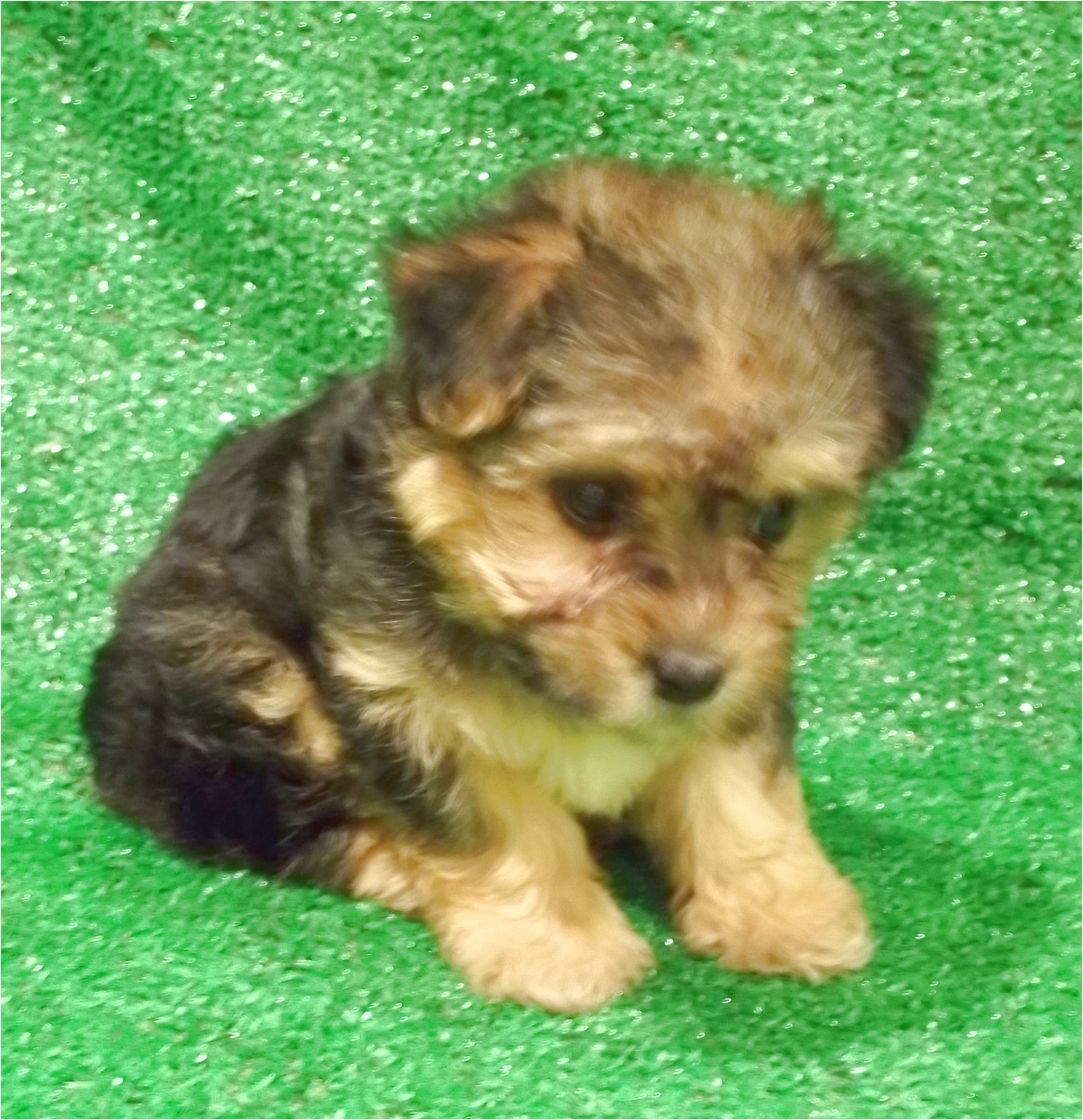teacup yorkie puppies for sale in jacksonville