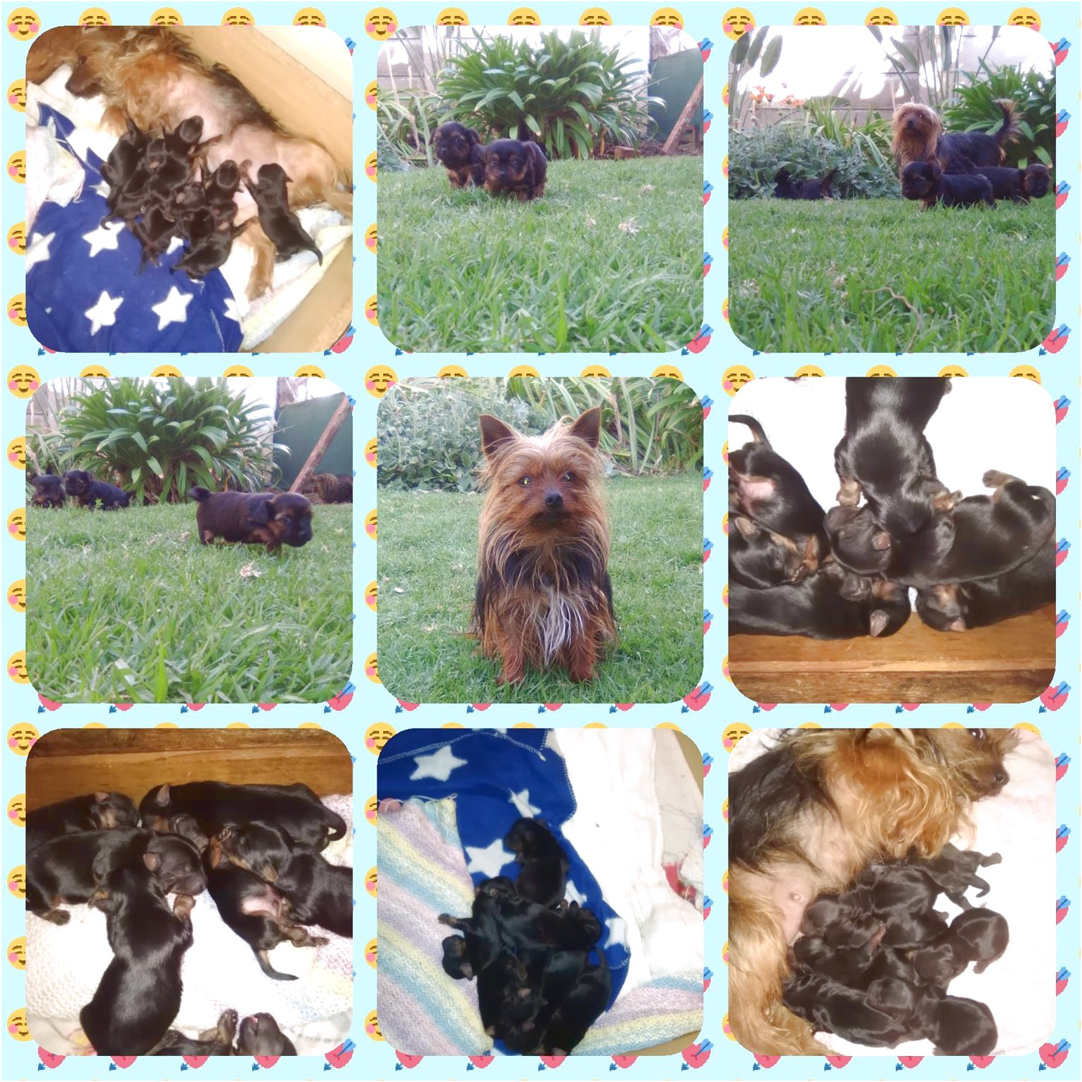 teacup yorkie puppies for sale in riverside ca