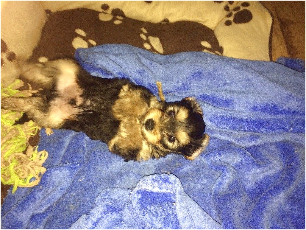 teacup yorkie puppies for sale in vermont
