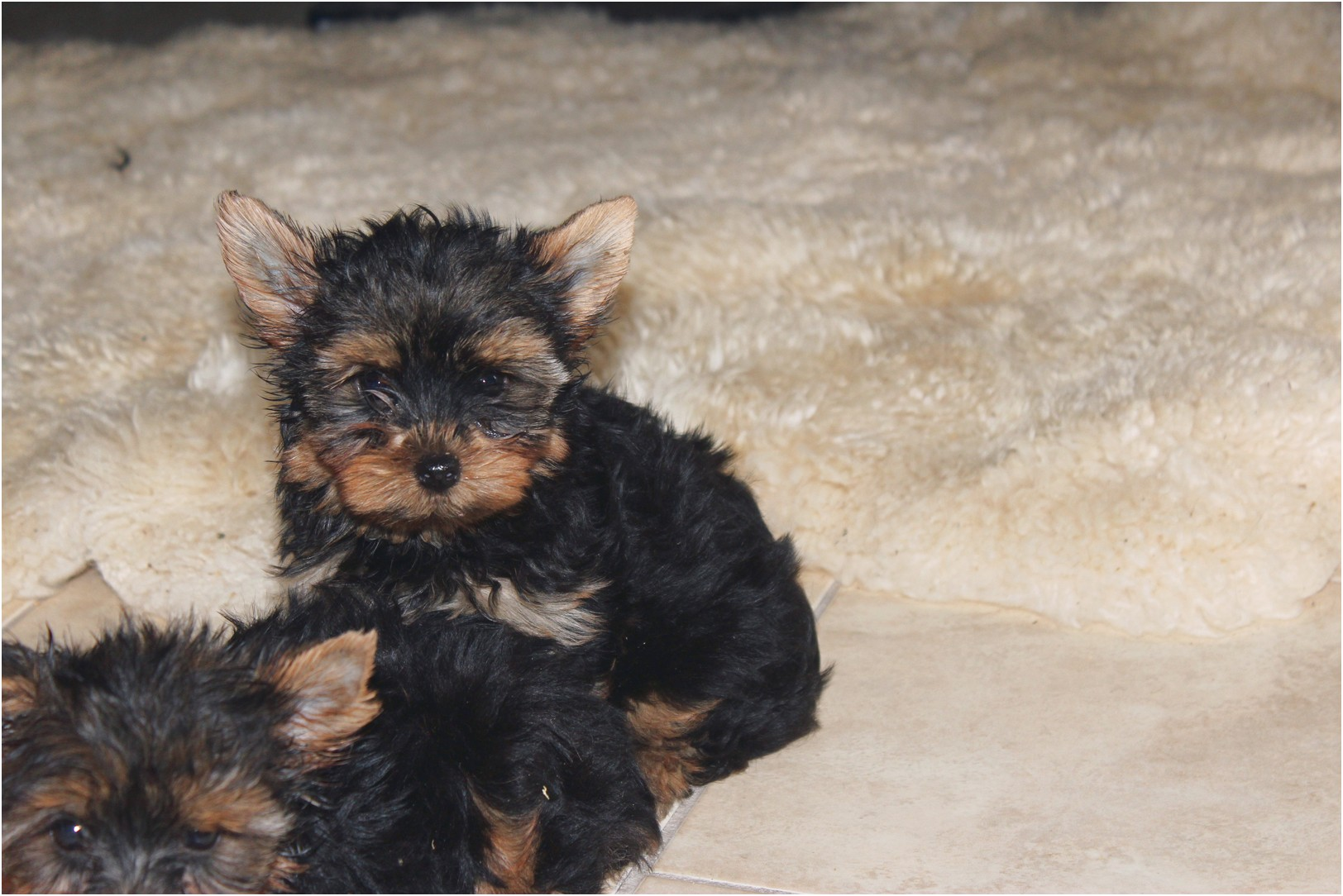 teacup yorkie puppies for sale jacksonville fl