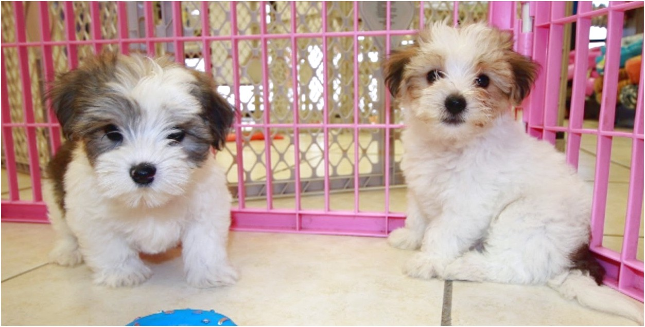 teacup yorkie puppies for sale kentucky