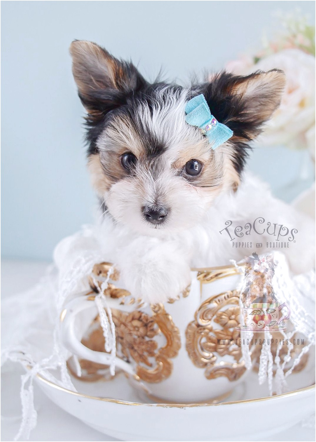 teacup yorkie puppies for sale kijiji