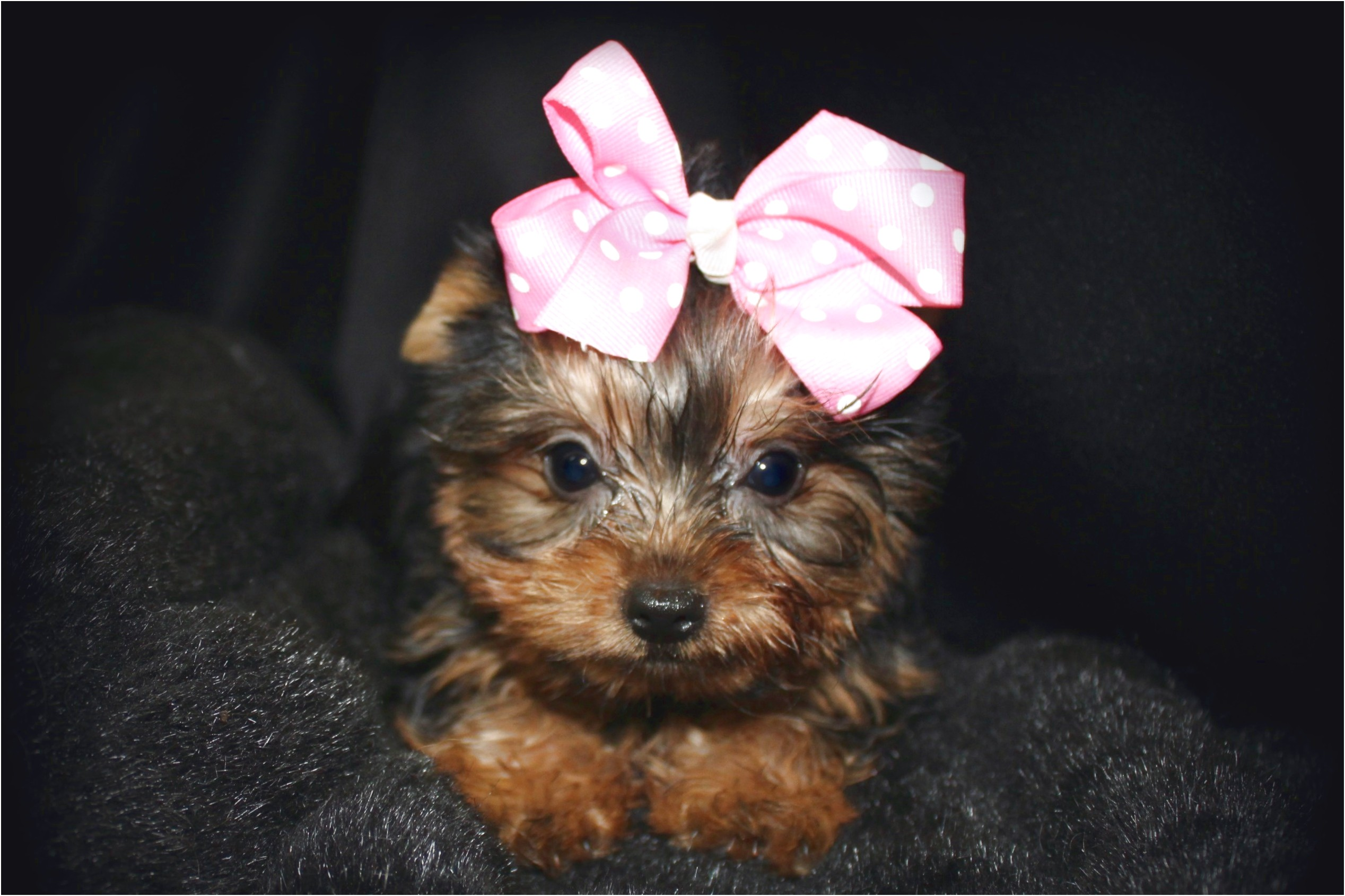 teacup yorkie puppies for sale los angeles