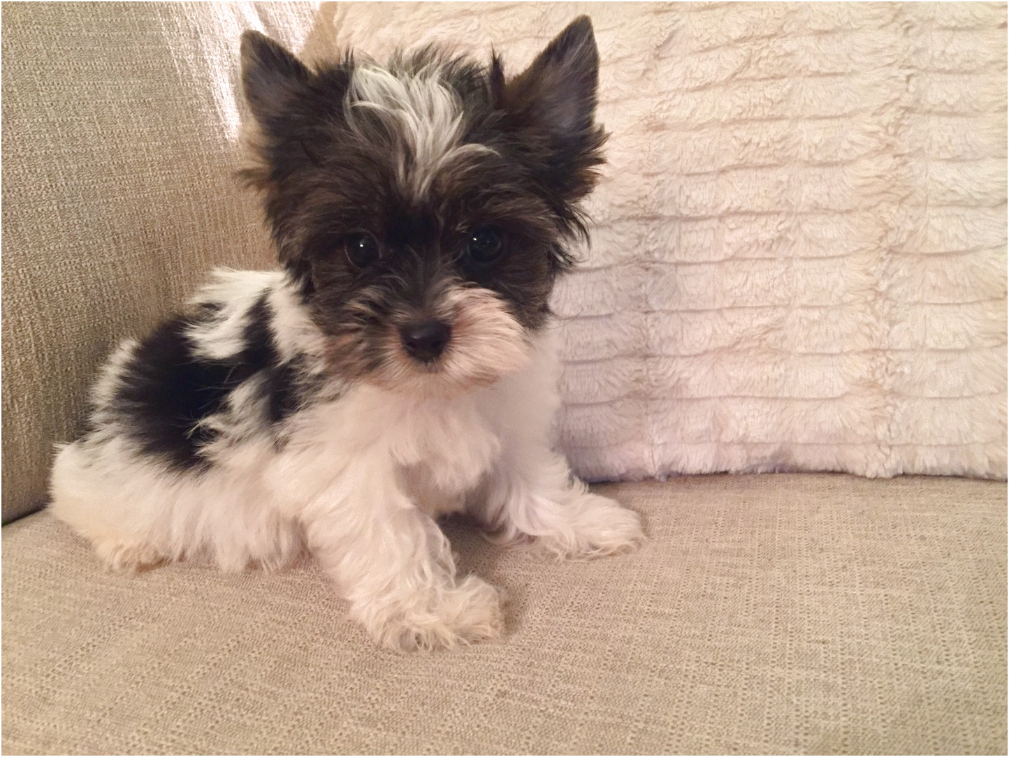teacup yorkie puppies for sale louisiana