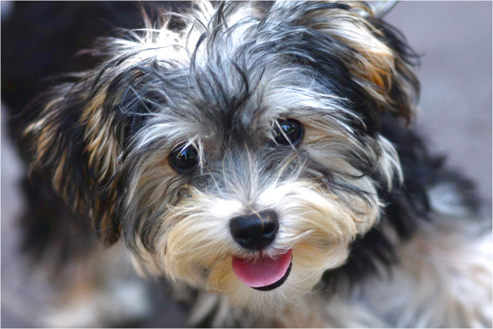 teacup yorkie puppies for sale miami