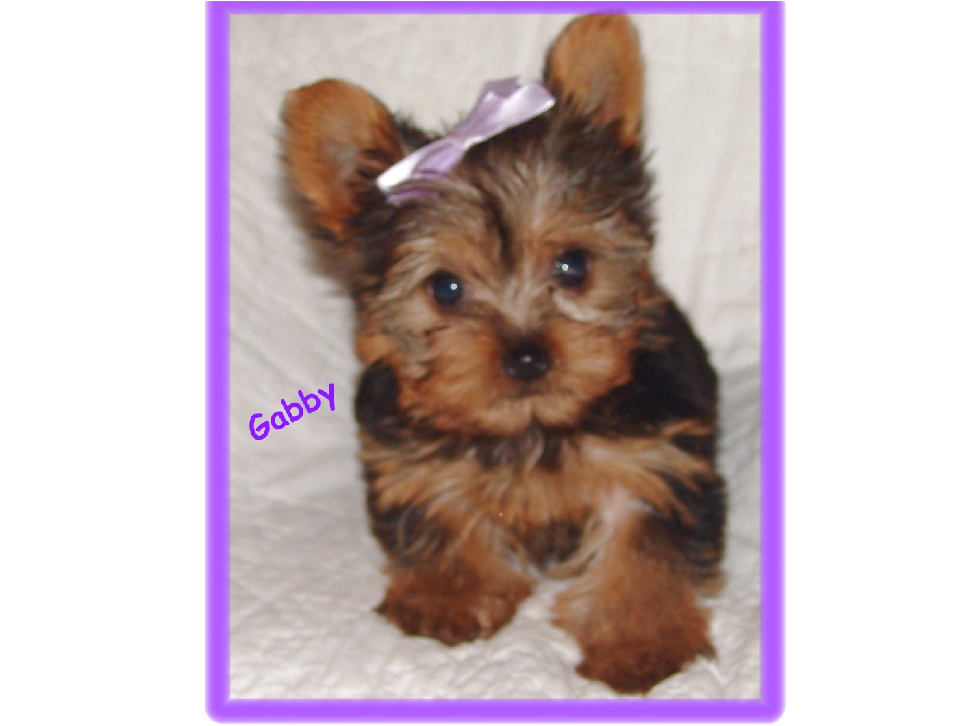 teacup yorkie puppies for sale nj