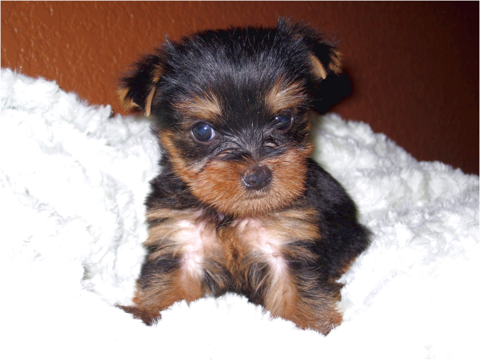 teacup yorkie puppies for sale north west