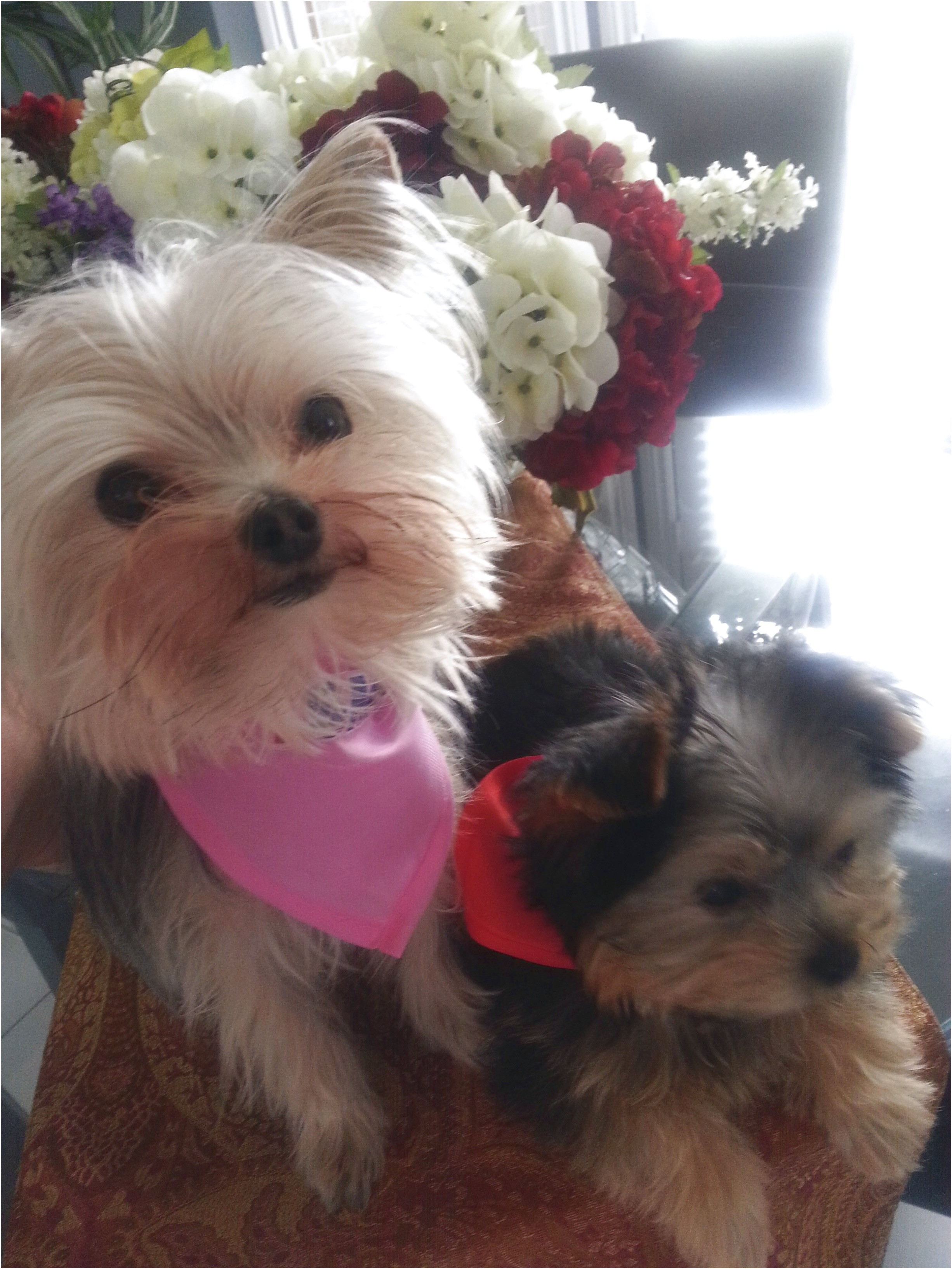 teacup yorkie puppies for sale ohio